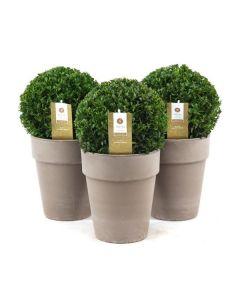Buxus sempervirens con vaso