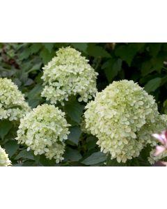 Hydrangea Paniculata Little Lime v.18