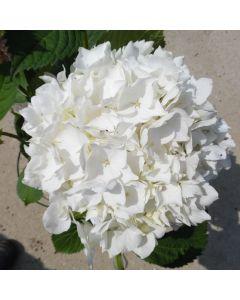 Hydrangea Macrophylla Soeur Therese