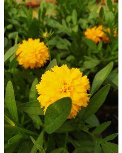 Coreopsis-fiore doppio