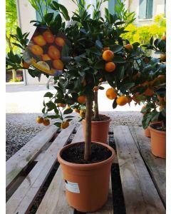 Citrus Mitis (Mandarino Ornamentale)