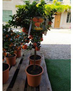Citrus Myrtifolia (Chinotto a foglia di Mirto)