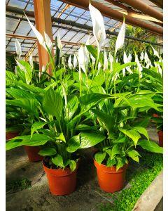 Spathiphyllum v.12