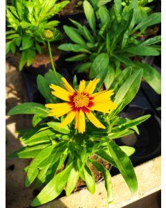 Coreopsis-fiore semplice