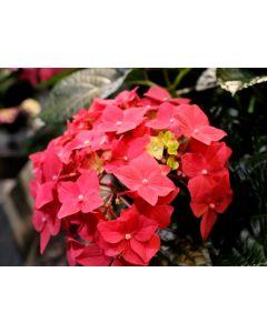 Hydrangea Macrophylla King George