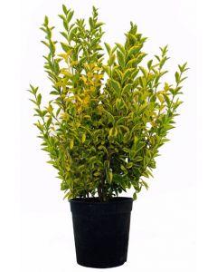 Ligustrum Ovalifolium Aureum v.18