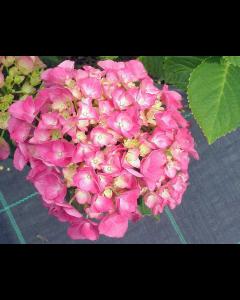 Hydrangea Macrophylla Merveille